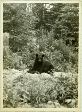 Black Bear at Dump in the Forest