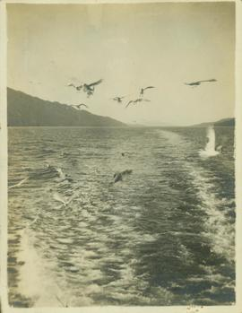 Seagulls flying above the wake left by a boat