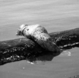 Seal at Cowichan Lake on Vancouver Island