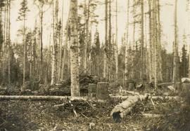 Slash and Unmerchantable Balsam Left by Logging