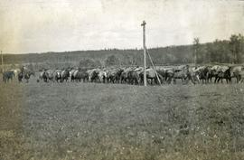 Pack train at Hudson Bay Company, Fraser Lake