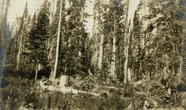 Typical Stand of Balsam Left after Logging
