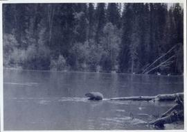 A beaver sitting on a submerged log