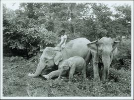 Bangladesh : Man riding an elephant