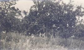 Landscape shot - grassy area in the foreground and fruit-bearing trees in the background
