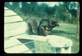 A squirrel sitting on the edge of a lawn chair