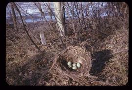 Blue Jay Nest with eggs