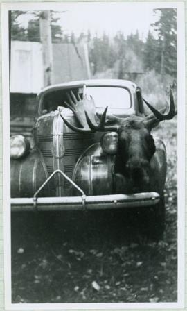 Moose Head Sitting on Hood of Car